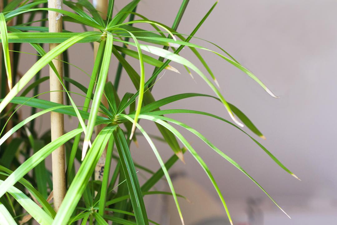 Plantes d'intérieur facile d'entretien : Papyrus