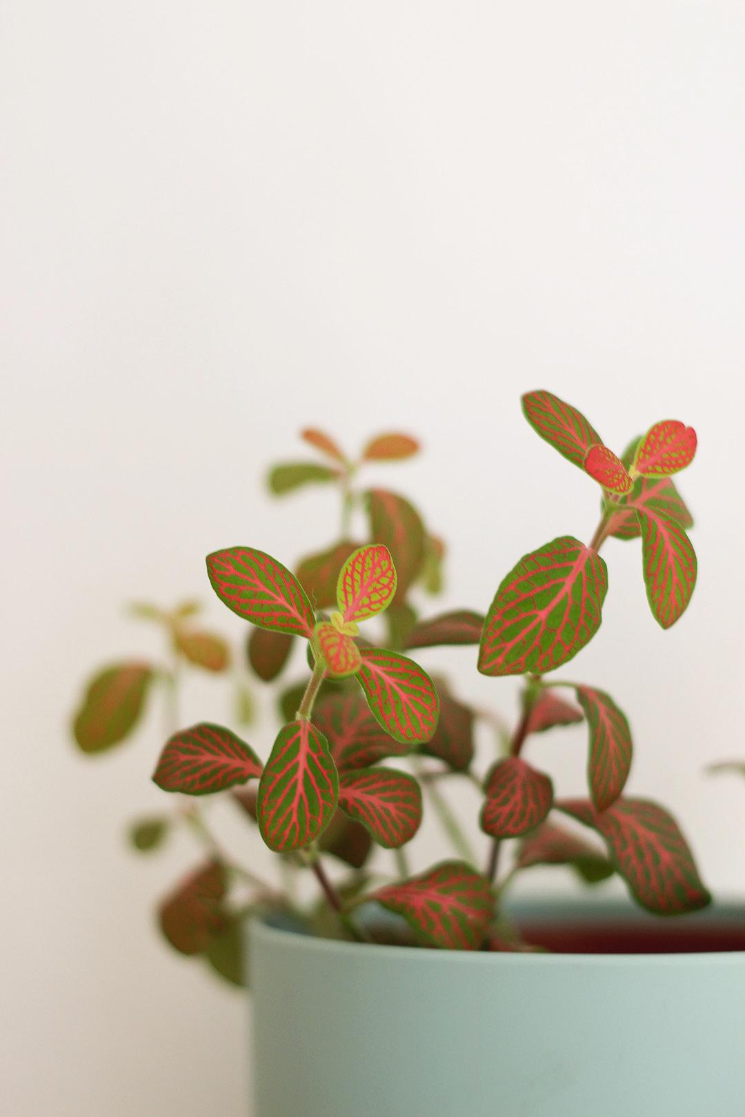Plantes d'intérieur facile d'entretien : Fittonias